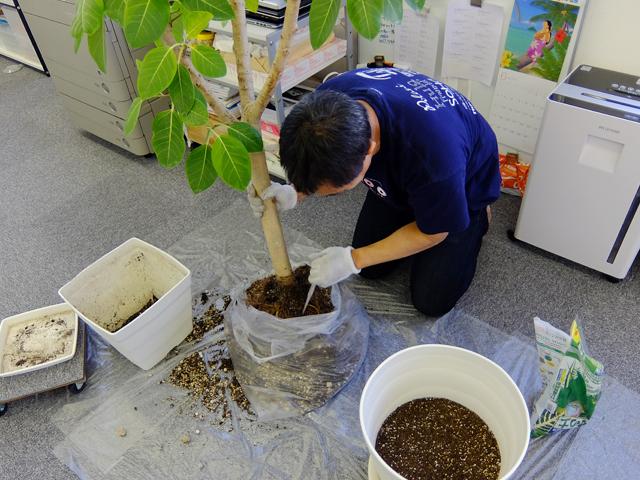 ゴムの木を社内で植え替える社長