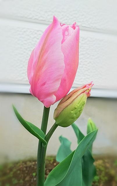 おまけ付きの可愛いピンクのチューリップ。