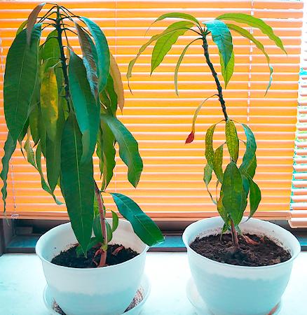 マンゴーの植木
